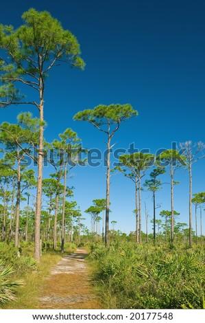 nature trail through scrub pine forest in coastal south florida - stock photo