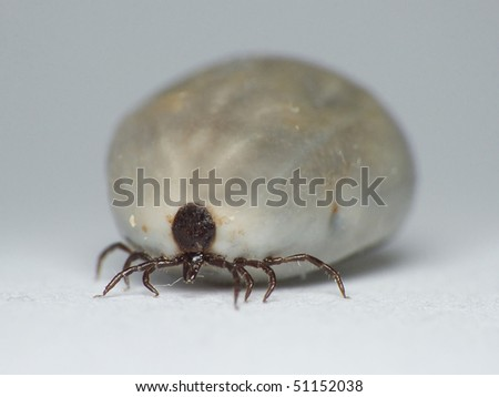 Nature. Transfer of diseases. Full fill her up tick (Ixodes ricinus) blood. - stock photo