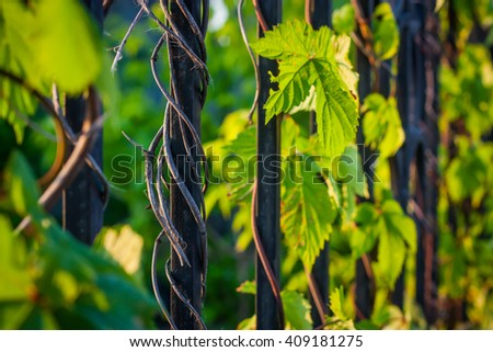 Nature. Vine-covered fence. - stock photo