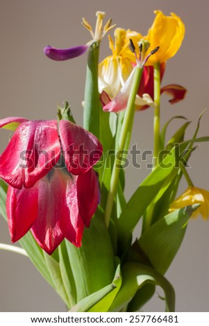 Nature. Wilted tulips. Vertical close-up. Without the use of filters. - stock photo