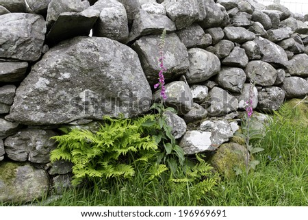Natures beauty-foxglove and fern growing in the shelter of hand made stone wall in Harlech Wales. - stock photo