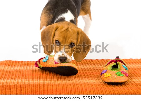Naughty Beagle puppy chewing slippers on orange carpet on white background - stock photo