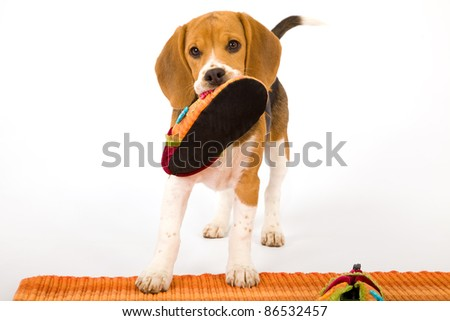 Naughty Beagle puppy with slipper shoe on white background - stock photo