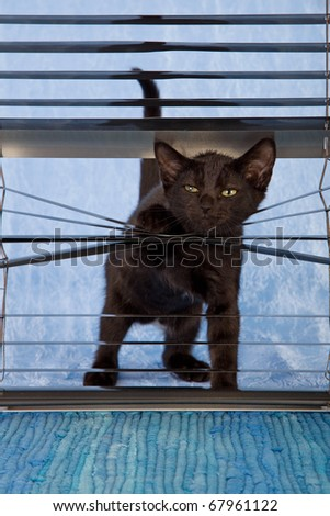 Naughty black kitten looking through venetian window blinds