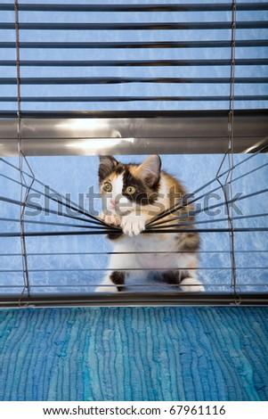 Naughty calico kitten looking through venetian window blinds - stock photo