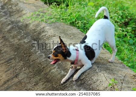 Naughty Chihuahua - stock photo