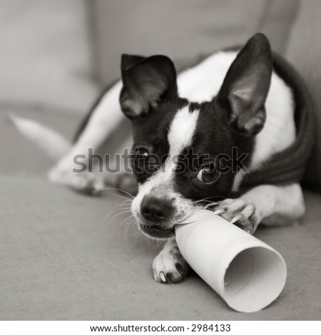 Naughty chihuahua chewing on paper - stock photo