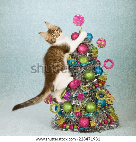 Naughty Christmas Maine Coon kitten climbing up Christmas tree decorated with colourful balls and trimmings  - stock photo