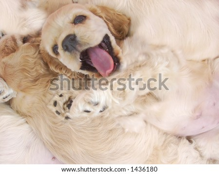 naughty cocker spaniel puppy refusing to fall asleep with litter mates - stock photo