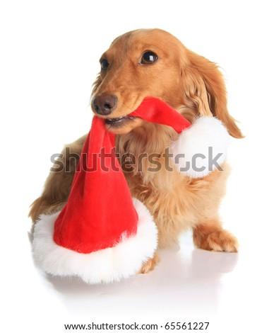 Naughty dachshund dog chewing on Santa's hat. - stock photo