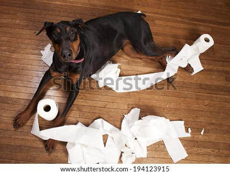 Naughty dog!  Beautiful Doberman in a pile of shredded toilet paper on a wood floor. - stock photo