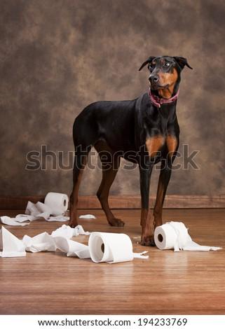 Naughty Dog!  Beautiful Doberman shredding rolls of toilet paper. - stock photo