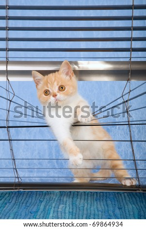 Naughty kitten peeping out from window venetian blinds