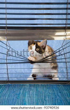 Naughty La Perm kitten peeping through venetian blinds on blue background - stock photo