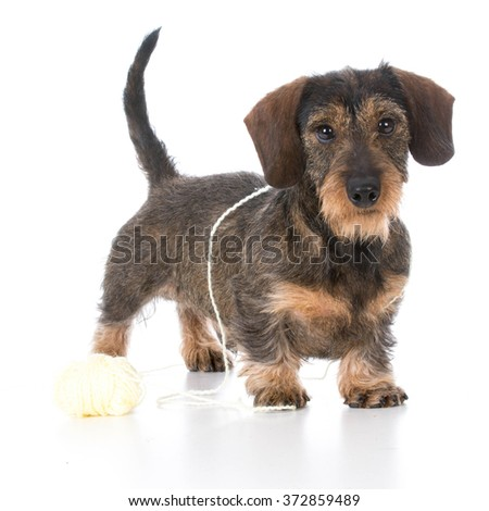 naughty miniature dachshund playing with ball of yarn on white background - stock photo