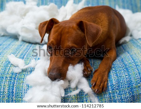 naughty playful puppy dog after biting a pillow tired of hard work - stock photo