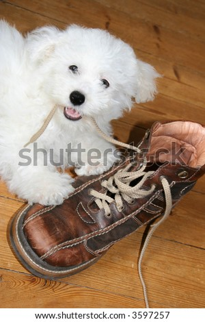Naughty puppy eating shoelaces (bichon frise) - stock photo