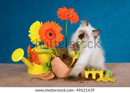 Naughty Ragdoll kitten with broken potplant and flowers - stock photo