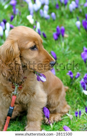 Naughty three month old Cocker Spaniel Puppy called Lady with a mouthful of Crocuses and soaked Ears whilst out in the Park - stock photo