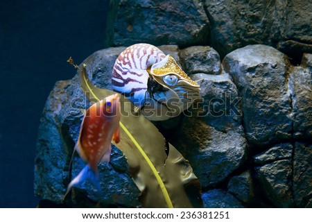 Nautilus Ancient mollusks, nautiluses, being a relative of the octopus, squid and cuttlefish. Very interesting and unique marine animal. - stock photo