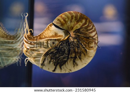 Nautilus pompilius or chambered nautilus, is a cephalopods with a prominent head and tentacle - stock photo
