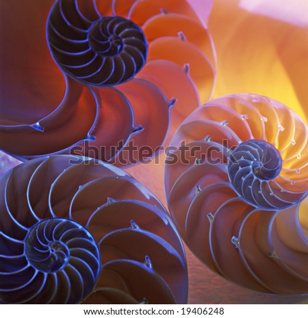 Nautilus shells - stock photo
