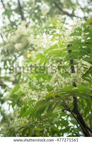 Ne-em leaves and flowers or Margosa flower in Thailand