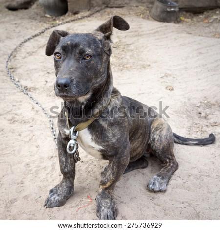 Neapolitan Mastiff puppy sitting on the ground on a chain - stock photo