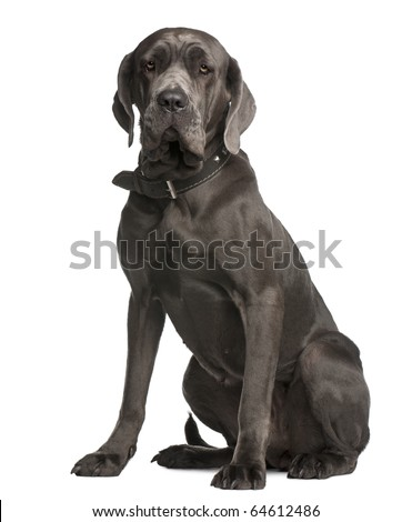 Neapolitan Mastiff, 3 years old, sitting in front of white background - stock photo