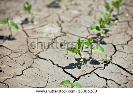 Near drought conditions challenge spring soybean crops. (Glycine max) - stock photo