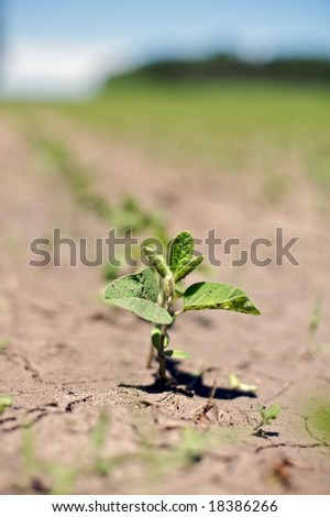 """Near drought conditions challenge spring soybean crops - """"Glycine max"""" - stock photo"""