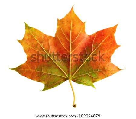 Neat colorful maple leaf on white background, rich in color and detail - stock photo
