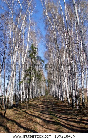 neat rows of birch trees on a sunny spring day - stock photo