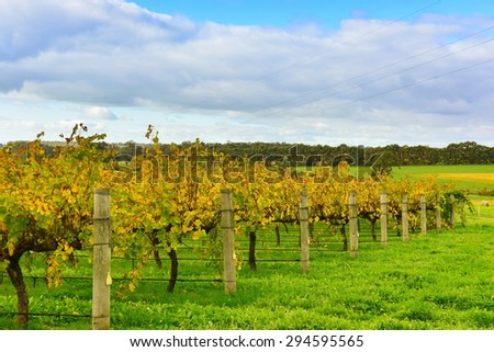 Neat rows of grape-bearing vines in a vineyard at Margaret River, Western Australia - stock photo