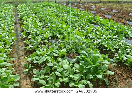 Neat Rows Of Green Vegetables Growing In A Farm - stock photo