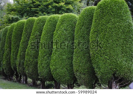 Neatly trimmed hedge - stock photo