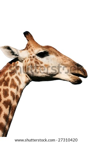 neck and head of a large giraffe eating