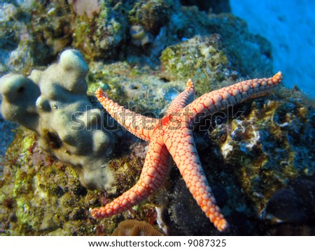 Necklace\pearl Sea Star (Fromia Monilis) - stock photo