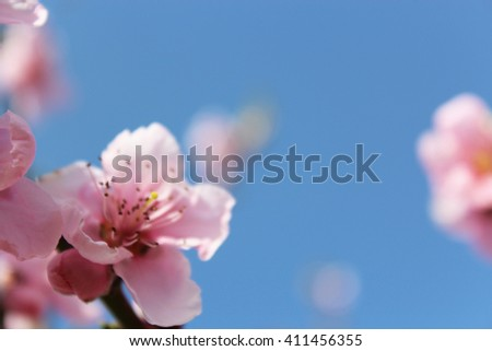 nectarine flowers out of focus. concept of seasonal pollination, delicious, gardening, flora and place for text, environment, apricot leaf, yard, fruit orchard, farmland, rural, stem, nucipersica - stock photo