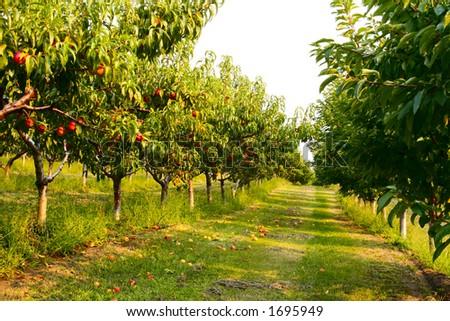 Nectarine orchard - stock photo