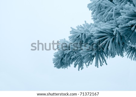 needle of the pine tree branches covered with frost fog