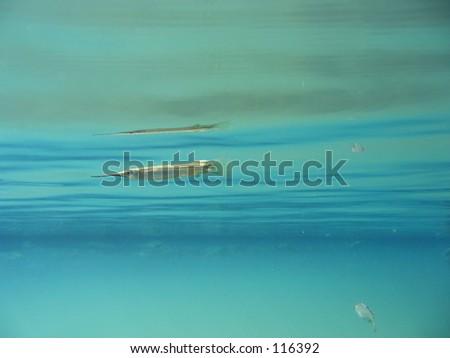 Needlefish, Samoa - stock photo