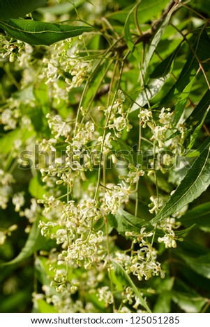 Neem elaves and flowers-Azadirachta indica - stock photo