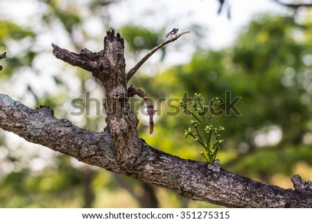 Neem flowers  neem tree. - stock photo