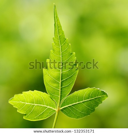 Neem leaf-Azadirachta indica against green - stock photo