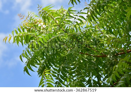 Neem tree, Azadirachta indica - very powerful Indian medicinal tree. Bright green leaves against the blue sky. - stock photo