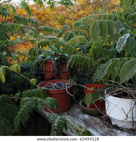 Neglected outdoor plants on a wooden shelf in early winter - stock photo