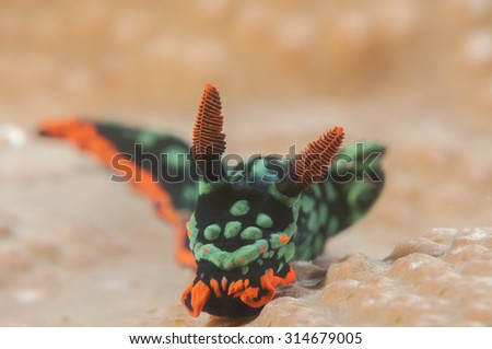 Nembrotha kubaryana nudibranch ,  also know as the variable neon slug due to their bright colours. It is a species of colorful sea slug in the family Polyceridae. Bunaken island ,  Sulawesi, Indonesia - stock photo