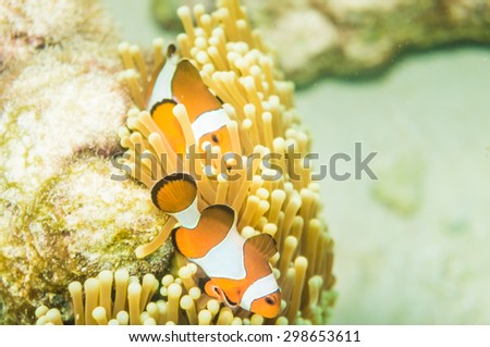 Nemo (Anemonefish) family in front of their anemone home. Andaman Sea, Thailand. - stock photo