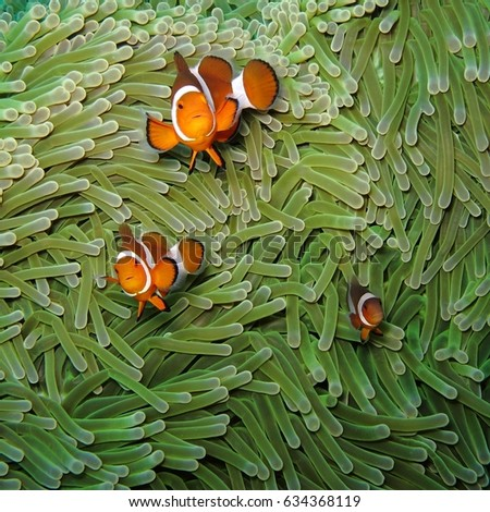 Nemo clown fish in their natural anemone home. Three cute nemo fish underwater on the tropical coral reef. Anemonefish family in their green anemone house. Orange anemone fish nemo family.